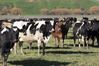 Tararua dairy farmers are beginning to get busy with calving, while still uncertain about new One Plan requirements.