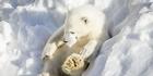 Watch: Polar Bear playtime