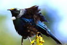 There is still much to learn about the charismatic tui. Photo / John Campbell