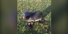 Watch: Invercargill man rescues baby seal from paddock, 10km from nearest shore