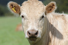 Beef prices are likely to drift lower over the remainder of the year, say economists. Photo/File