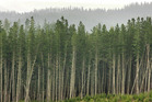More than 300ha of pine forest near Kaitaia has been bought by Japanese-owned Summit Forests. PHOTO / FILE