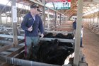 NZ Farmers Livestock auctioneer Cameron Smith gains top price of $195 for these Angus cross bulls at the Dannevirke sale on Monday, July 31.