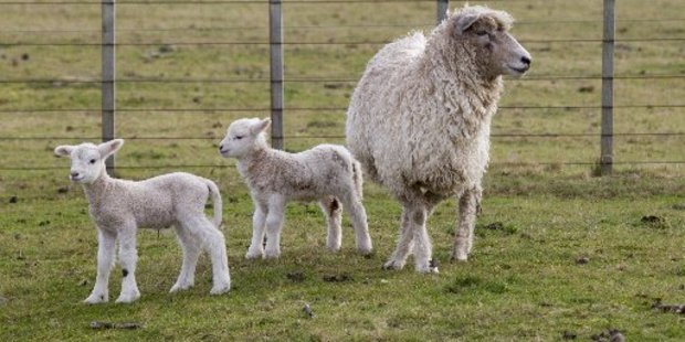 Look out for sleepy sickness in sheep and goats.