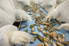 Workers process mussels in a factory. The Northland seafood industry employed 281 people, according to a report. Photo / File