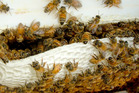 Apiculture New Zealand will run Bee Aware Month (BAM), a month-long campaign designed to educate New Zealanders about bees. - Photo / File