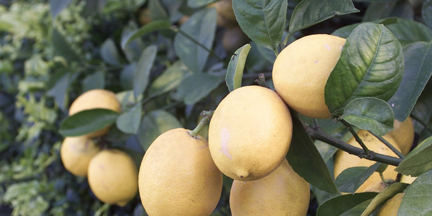 Lemons are one of the fruits Community Fruit Rotorua are hoping to pick and receive. Photo/File