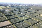 The King Avocado orchard covers 160ha on a site between Waiharara and Houhora in the Far North.