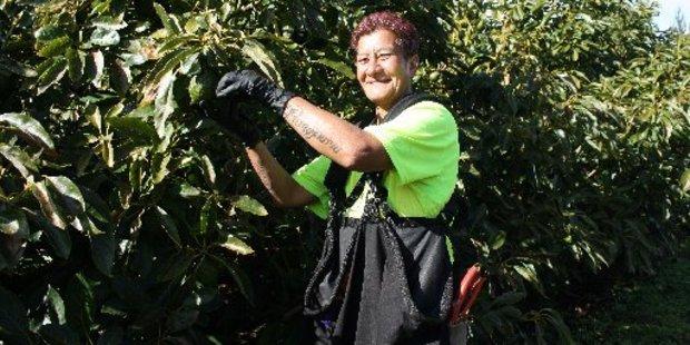 Fruit picker Moetangi Kaihe is on King Avocado's permanent staff.