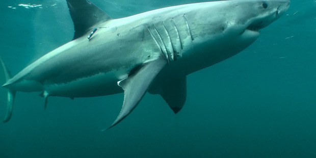 A great white shark - a 5.5m specimen has been sighted off Whangarei's coast.