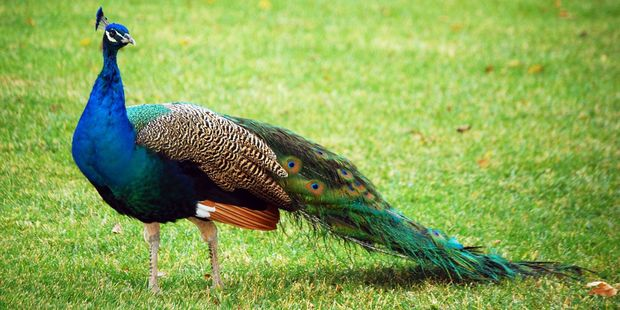 According to Google feral peacocks are a threat to conservation. Photo / 123RF