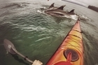 Nathan Pettigrew comes across dolphins in Tauranga Harbour.