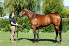 Waikato Stud expects keen interest in the Savabeel filly from Daffodil at Karaka on Monday. Photo / Ange Bridson