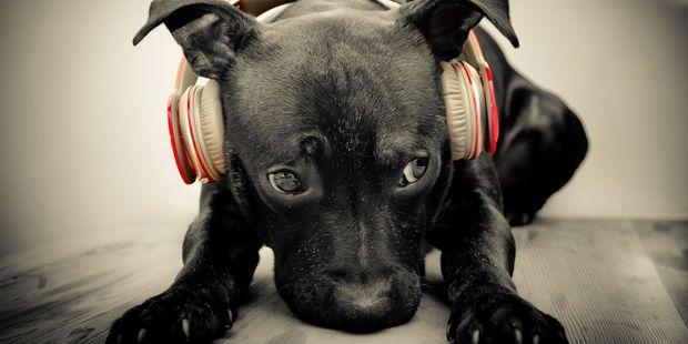 Research has clearly shown that music has an effect on a dog's behaviour. Photo / 123RF