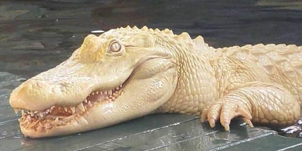 Loading Pearl: An albino alligator has become a star at Gatorland in Florida. Phto / Gatorland Facebook