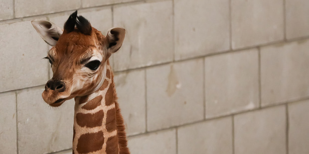 Loading Auckland Zoo's new calf has been described as a little bit cheeky. Photo / Supplied