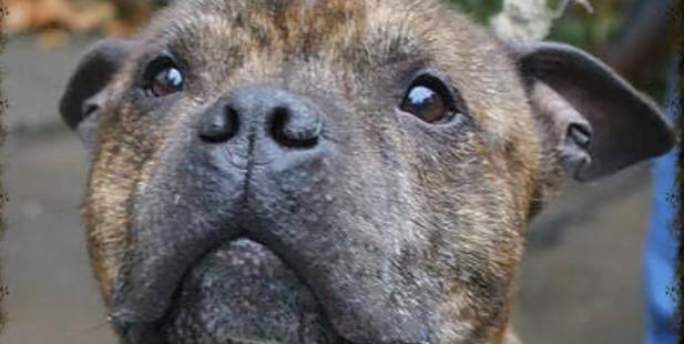 Staffordshire Bull Terrier Butch was found eating the corpse of his deceased owner in the UK. Photo / Supplied