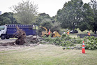 Large tree toppled in the high winds is cleared by Castle Corp staff in Kuirau Park. PHOTO/ANDREW WARNER
