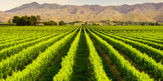 New Zealand winegrowers remain upbeat about this year's harvest, despite earthquakes and adverse weather. Photo / 123RF