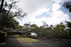 A large tree brought down by the weekend's wild storm in Mount Hobson Lane, Auckland. Photo / Michael Craig