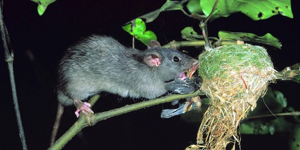 A rat raids a fantail nest. Photo / File