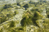 The algae rapidly growing in the Matapouri estuary has alarmed some locals who say it should be physically removed. Photo / John McCaffery