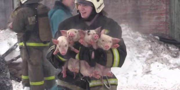 Watch 150 piglets saved by firefighters in Russia