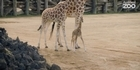 Watch: Watch: Auckland Zoo's new giraffe calf takes first step into Pridelands exhibit