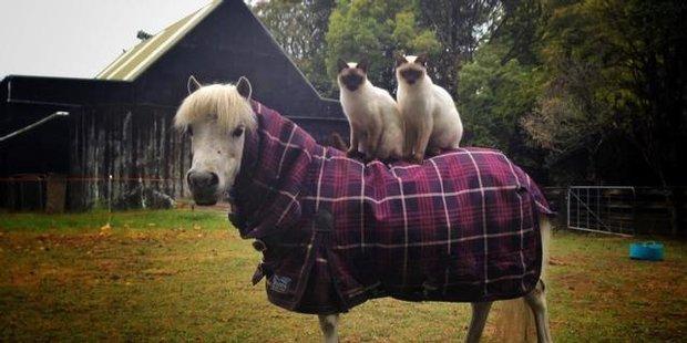 Watch NZH Focus Leonardo the horse riding cat