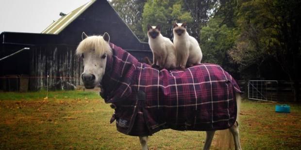 Loading Half Ragdoll, half Siamese brothers Leonardo and Romeo are not your average cats. Photo / Supplied