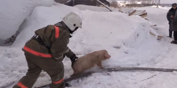 Most of the pigs were saved by the Russian firefighters. Photo / Дарья Бердникова YouTube