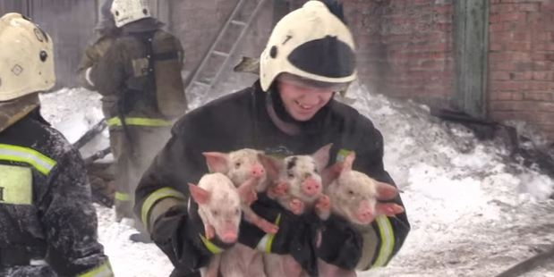 Loading The video shows the brave firefighters putting out the fire as well as carrying out squealing piglets which are seen burnt, but still alive. Photo / Дарья Бердникова YouTube