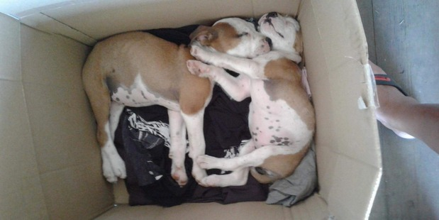 Pups rescued from rubbish fate at Ahipara Dump. Photo: Poppy Yates