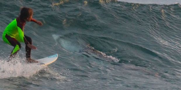 Chilling moment Eden Hasson surfs past the great white shark. Photo / via Facebook