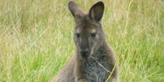 Wallabies are establishing a feral population in Central Otago.
