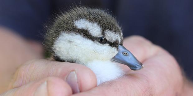 A blue duckling born at Nga Manu Nature Reserve.