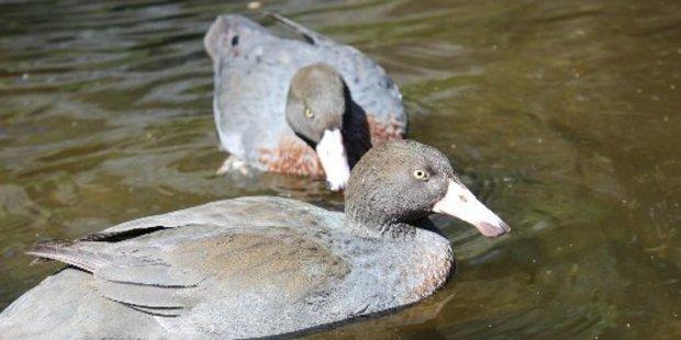 A pair of blue ducks at Nga Manu Nature Reserve.