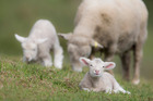 Farmers will be putting their best lambs forward, and their best cattle, for next week's A & P Show. Photo/File