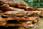 Swamp kauri is a valuable resource but exporting the wood in unfinished form is a breach of the Forests Act. Photo/File