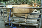 Cow weight and condition coming up to mating is a concern on many farms this year.
