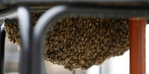 Loading A swarm of bees has taken over a cafe in Whangarei.