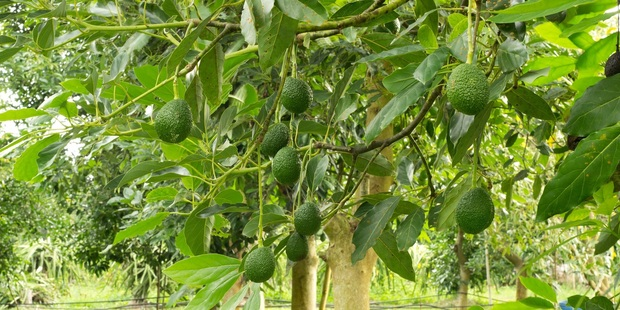 Pastoral farmers are selling up to avocado orchard developers keen to capitalise on Northland's idyllic growing conditions. Photo / Supplied