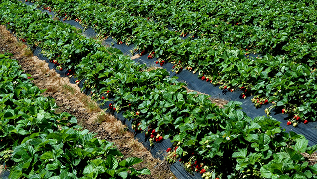 Strawberry growers on the edge of Cambridge are on the move as growth in that town spreads into their land areas. Photo / Supplied