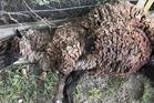 Mauled pet sheep Madeline on Monday morning. Photo: supplied