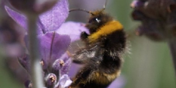 The bumble bee's furrier body picks up more pollen than the honey bee.