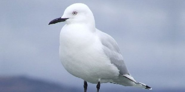 The tarāpuka, or black billed gull, which has colonies in Hawke's Bay, is the most threatened gull species in the world.