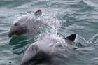 NGO says delaying a Government electronic monitoring programme for fishing will endanger Hector's dolphins. Photo / Shaun Wilson