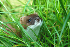 The stoat is the biggest killer of kiwi chicks in the wild. Picture / Supplied