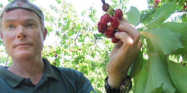 Jackson Orchard staff member Lindsay Reid picks the first cherries of the season at Jackson Orchard, in Cromwell. Photo: Pam Jones