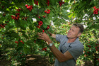 Jerf Van Beek checking on cherries that will be ready in time for Christmas, at his orchard in Hastings. Photo/Warren Buckland